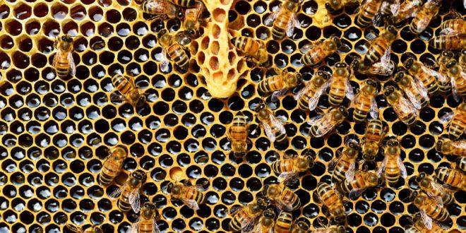 A mézben lévő rovarirtószer kimutatására fejlesztettek ki új módszert kanadai kutatók